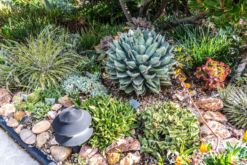 Bjorklund Garden Agave potatorum 'cubic'