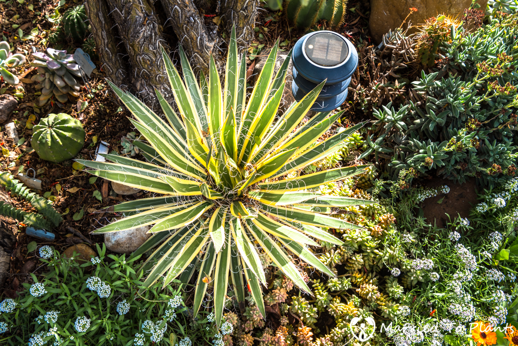 Bjorklund Garden Agave schidigera 'Shira ito no Ohi'