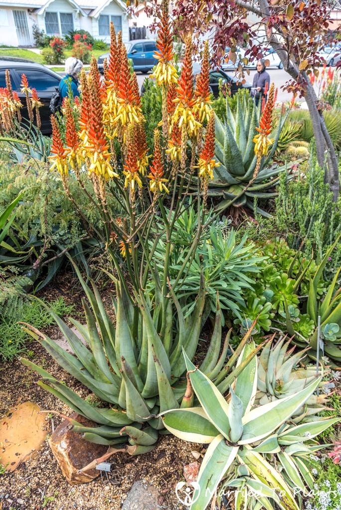 Bjorklund Garden Aloe cryptopoda
