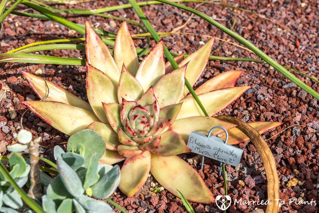 Bjorklund Garden Echeveria agavoides 'Maria Clone 2'