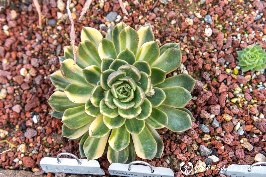 Bjorklund Garden Variegated Echeveria agavoides