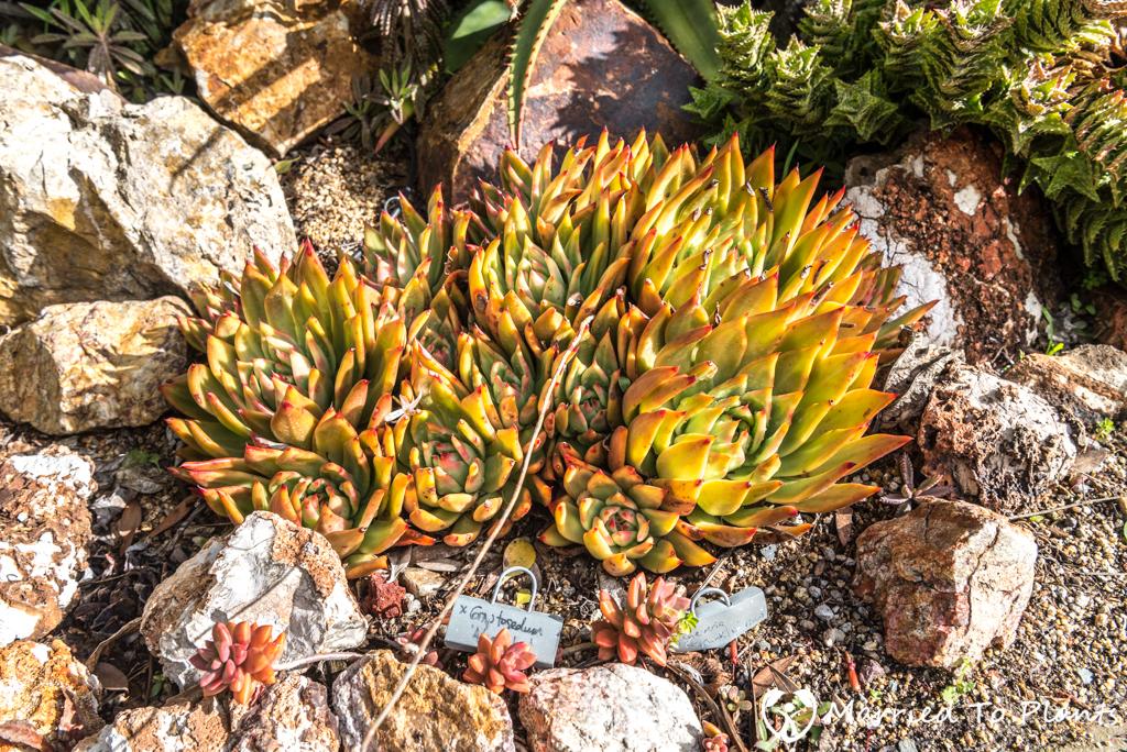 Bjorklund Garden Echeveria agavoides Unknown
