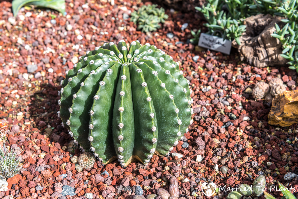 Bjorklund Garden Echinocereus 'Los Angeles'