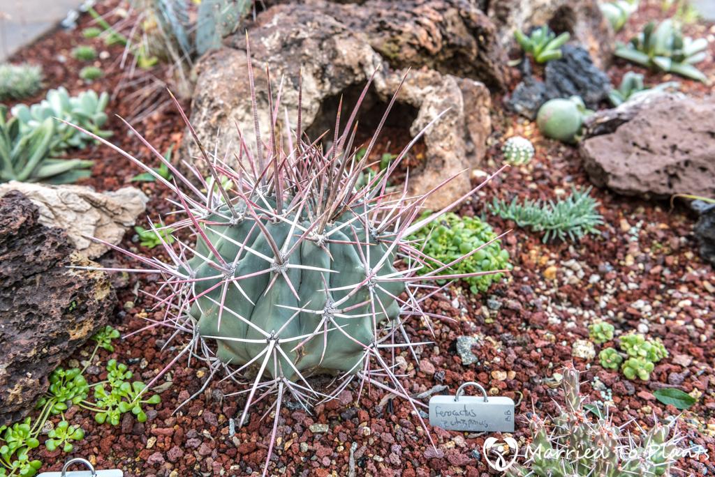 Bjorklund Garden Ferocactus rectispinus