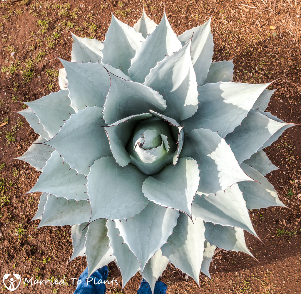 Agave ovatifolia Birds Eye