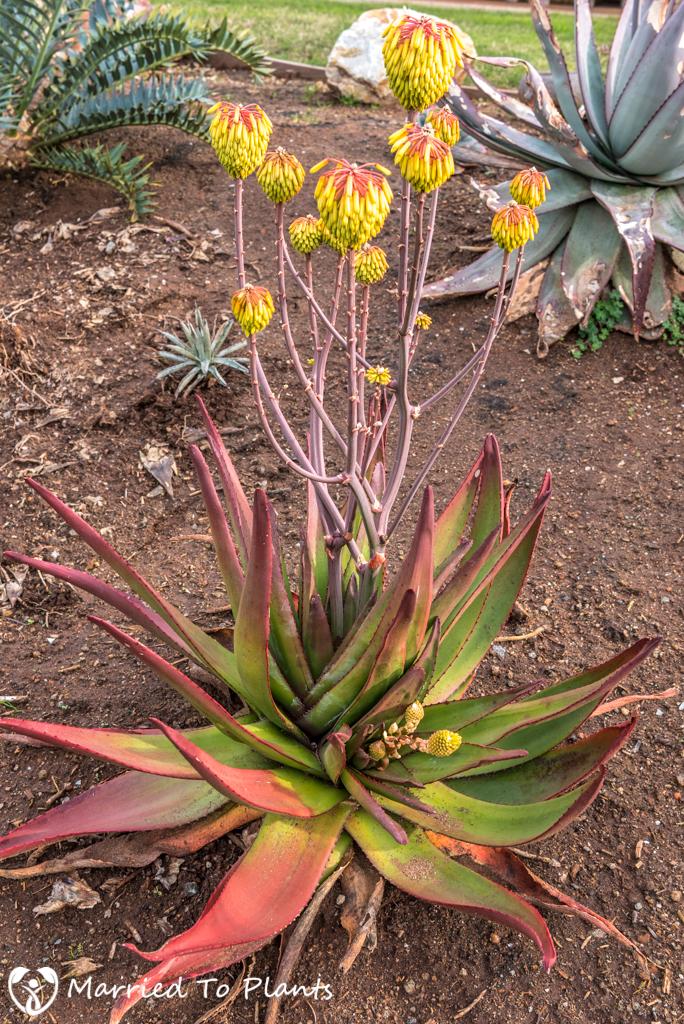 Aloe capitata var. cipolinicola