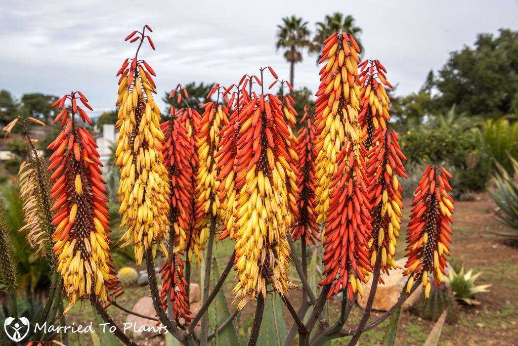 Aloe capitata x ferox Bicolor Flowers