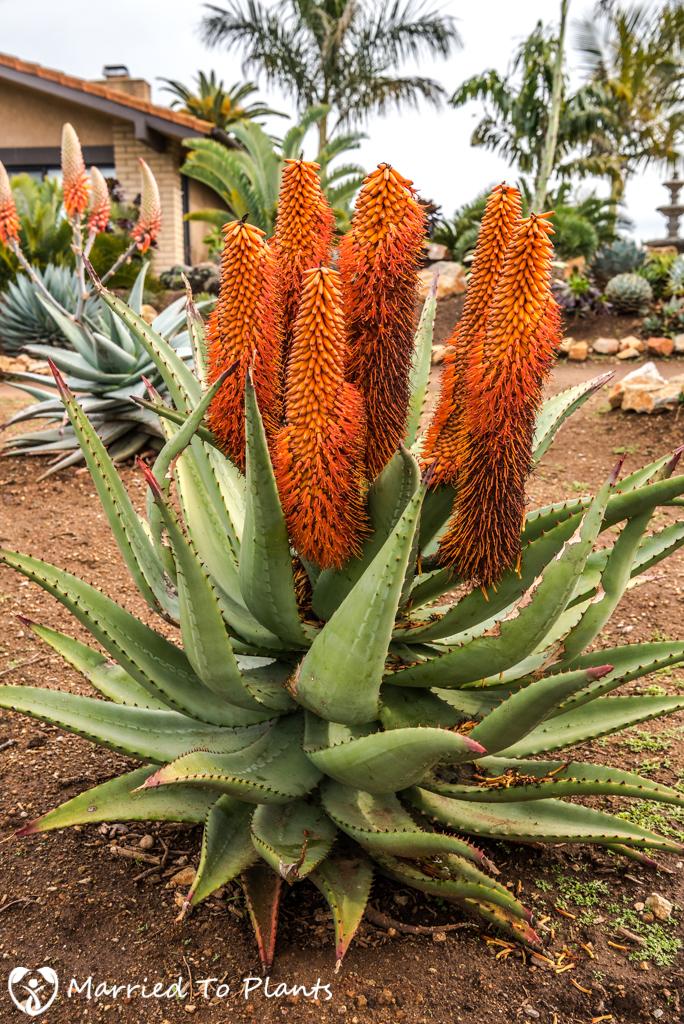 Aloe ferox 'Orange'