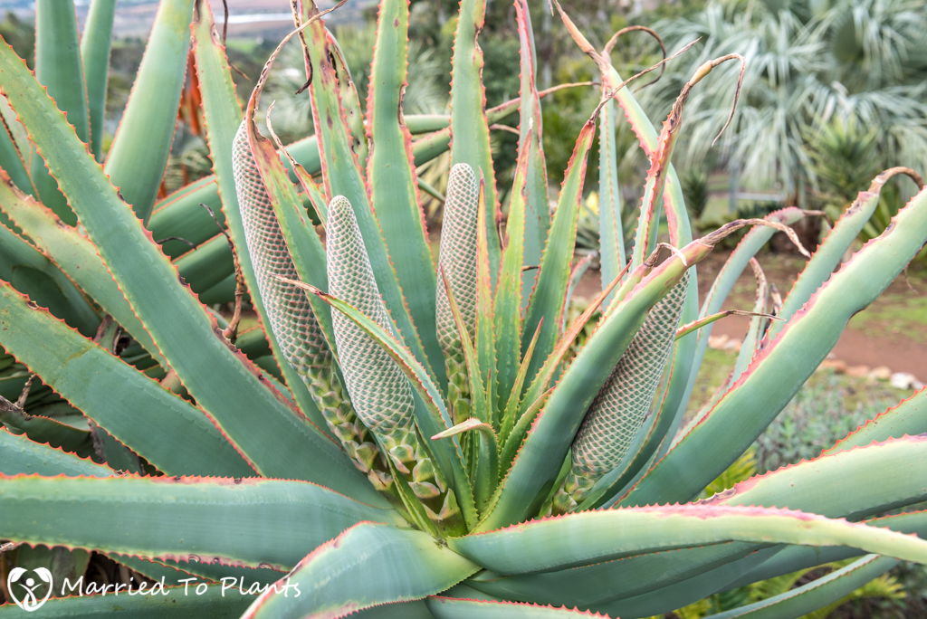 Aloe speciosa Flower Buds