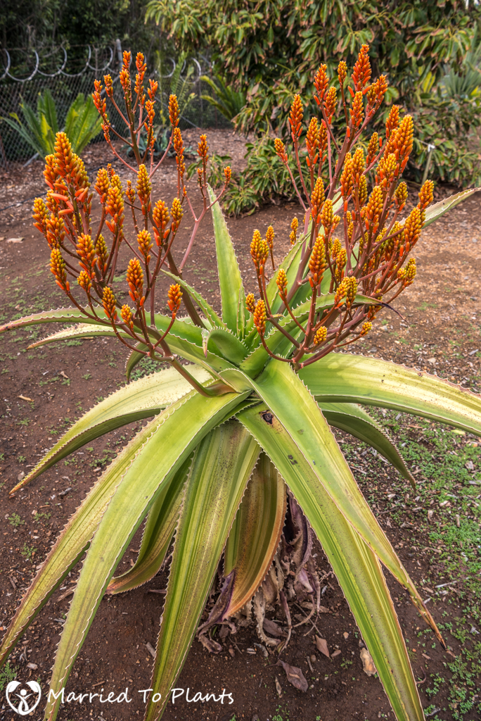 Aloe vaombe 'Variegated' Flowering