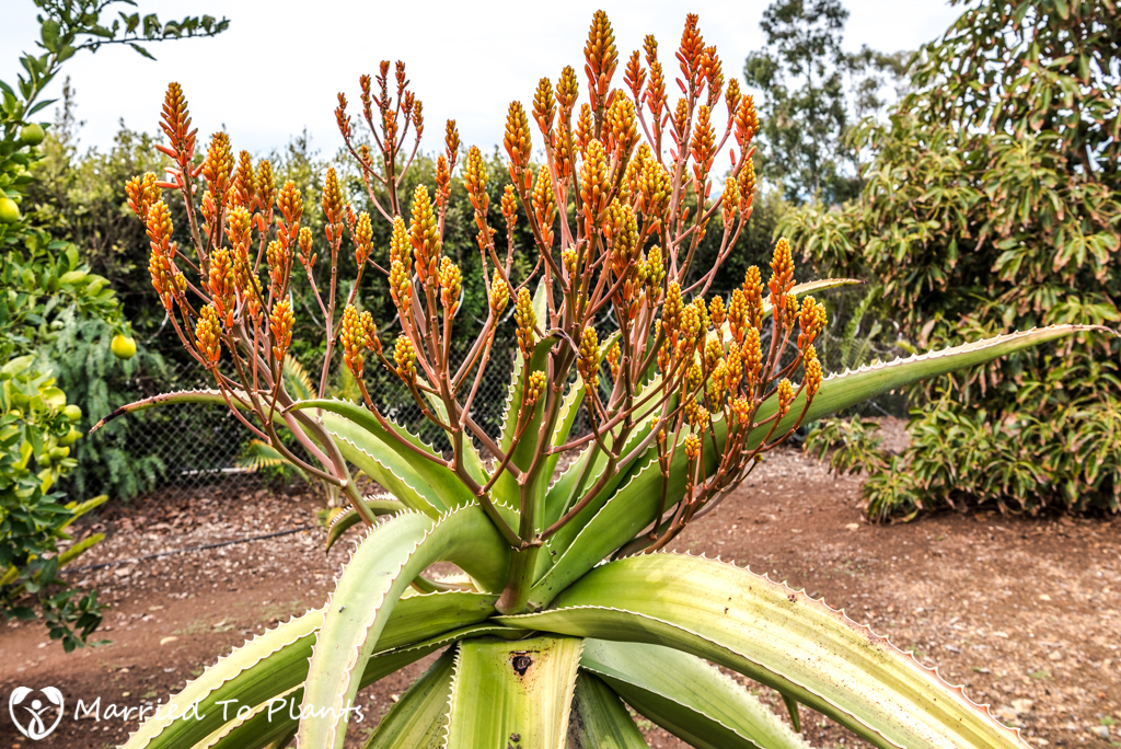 Aloe vaombe 'Variegated' Flowers