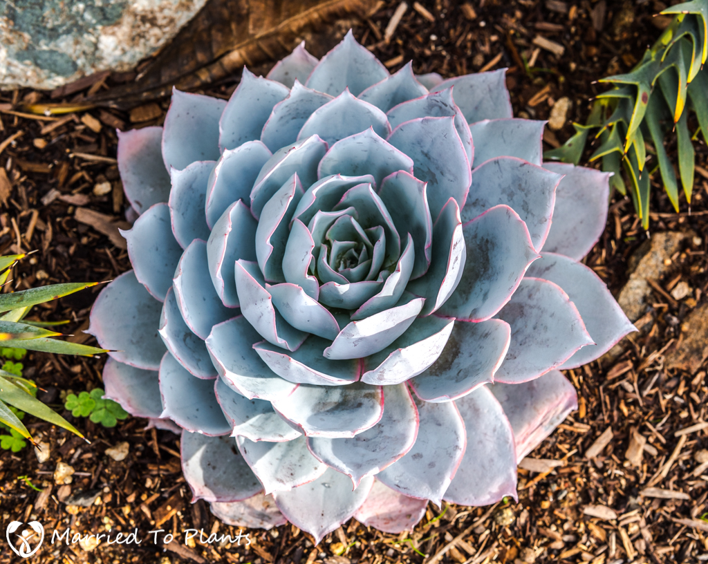 Echeveria cante Birds Eye