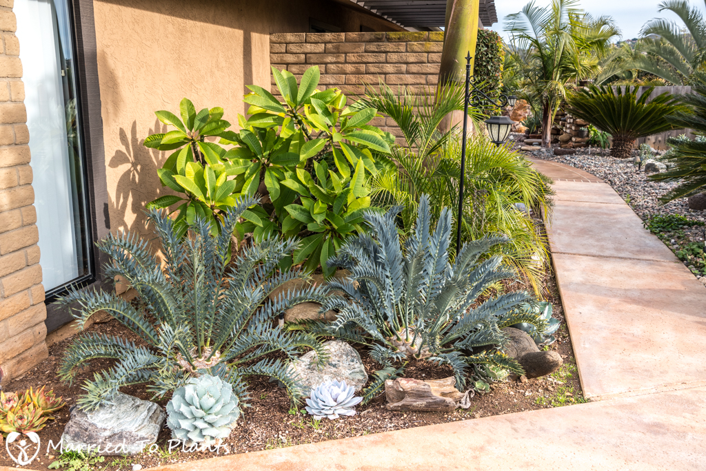 Encephalartos horridus and Plumeria