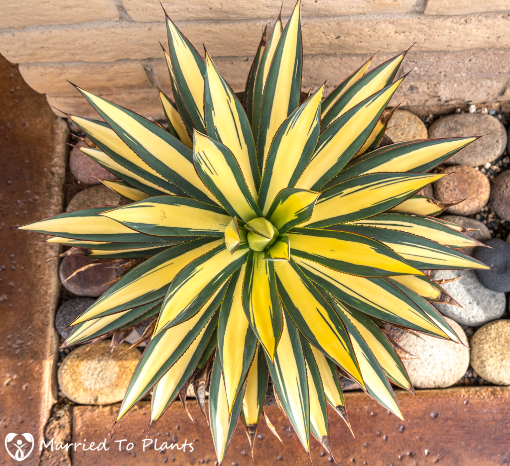 Mediopicta Variegation Agave 'Blue Glow'