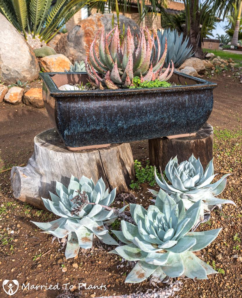 Bob De Jong Garden Pots and Dudleya brittonii