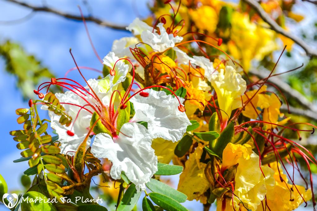 Isalo Delonix decaryi Flower