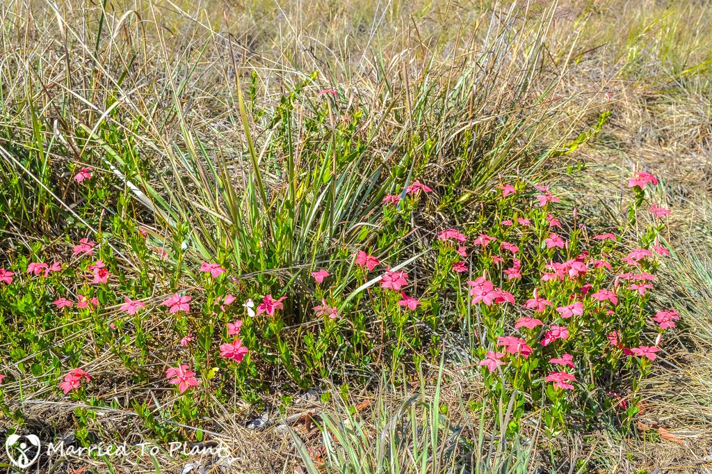 Isalo National Park Madagascar periwinkle (Catharanthus roseus)