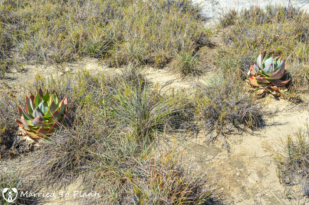 Isalo National Park Aloe imalotensis