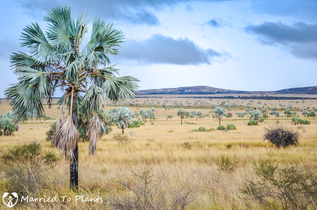 Isalo National Park Bismarckia nobilis