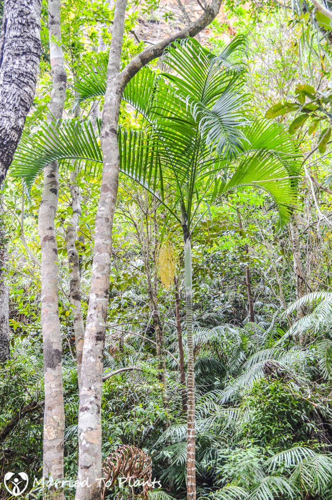 Isalo National Park Dypsis onilahensis 'Stiff Leaf'