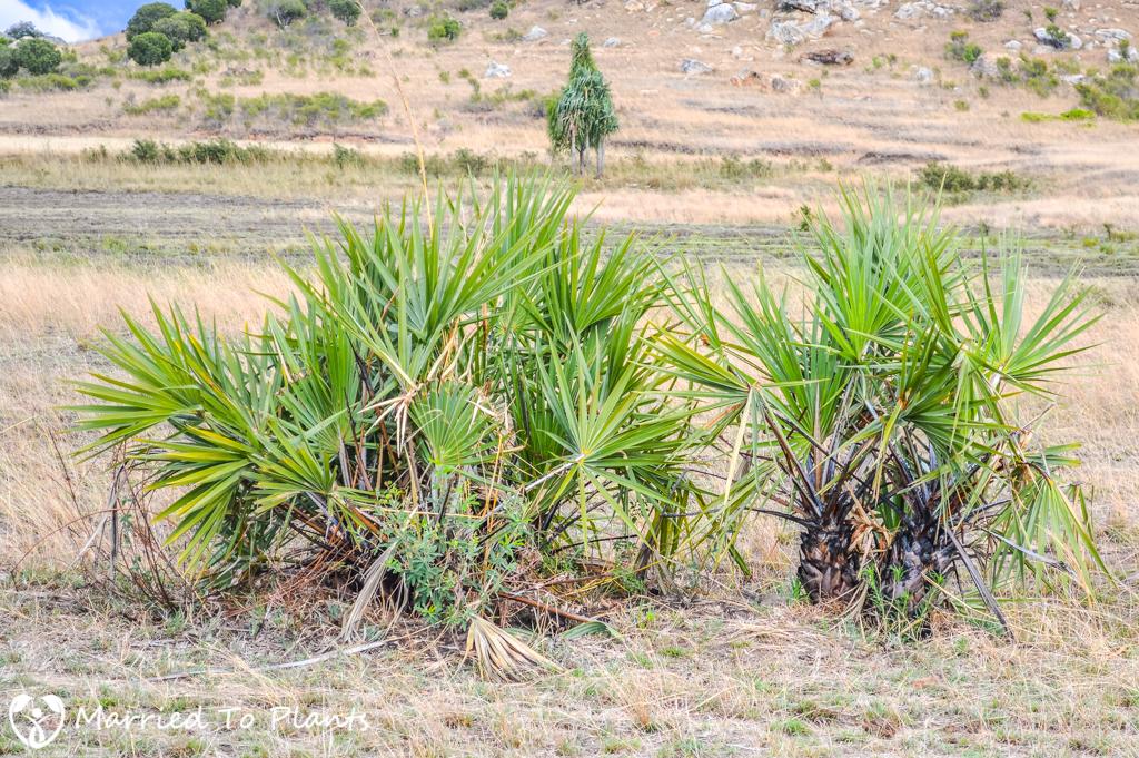 Isalo National Park Hyphaene coriacea