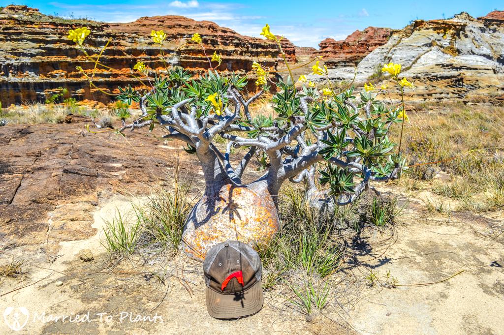 Isalo National Park Pachypodium rosulatum var. gracilius
