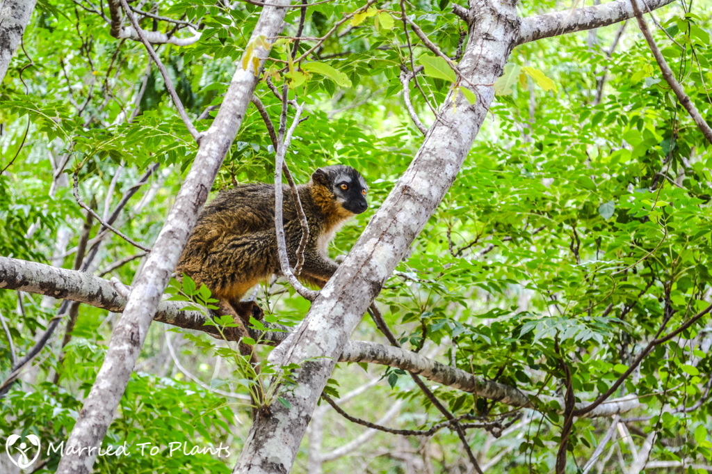 Isalo National Park Red-fronted Brown Lemur