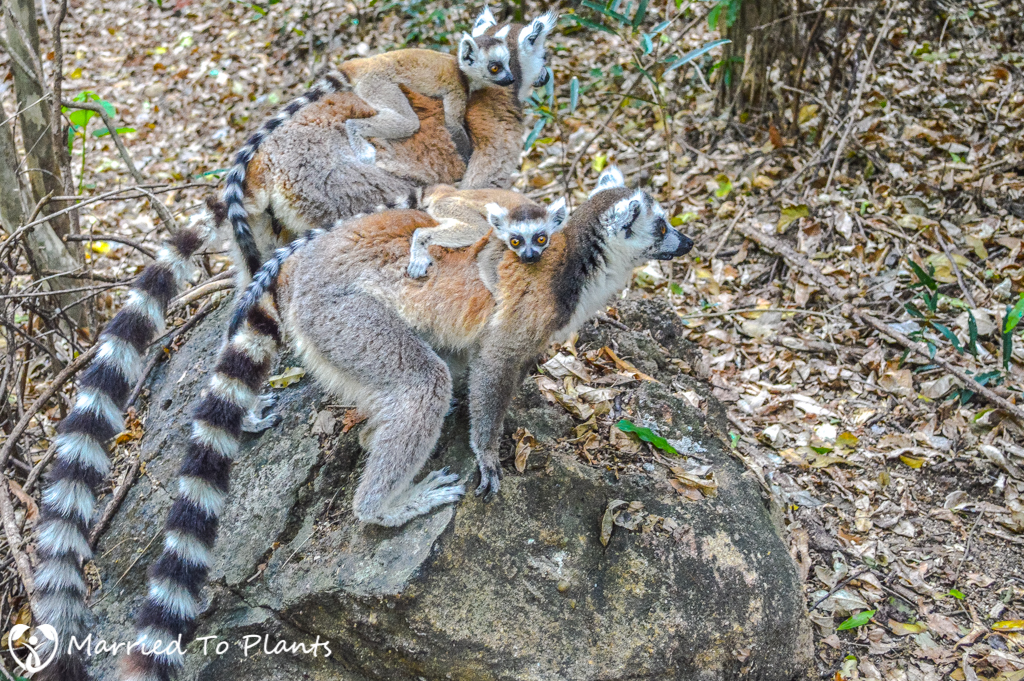 Isalo National Park Ringtail Lemurs with Babies