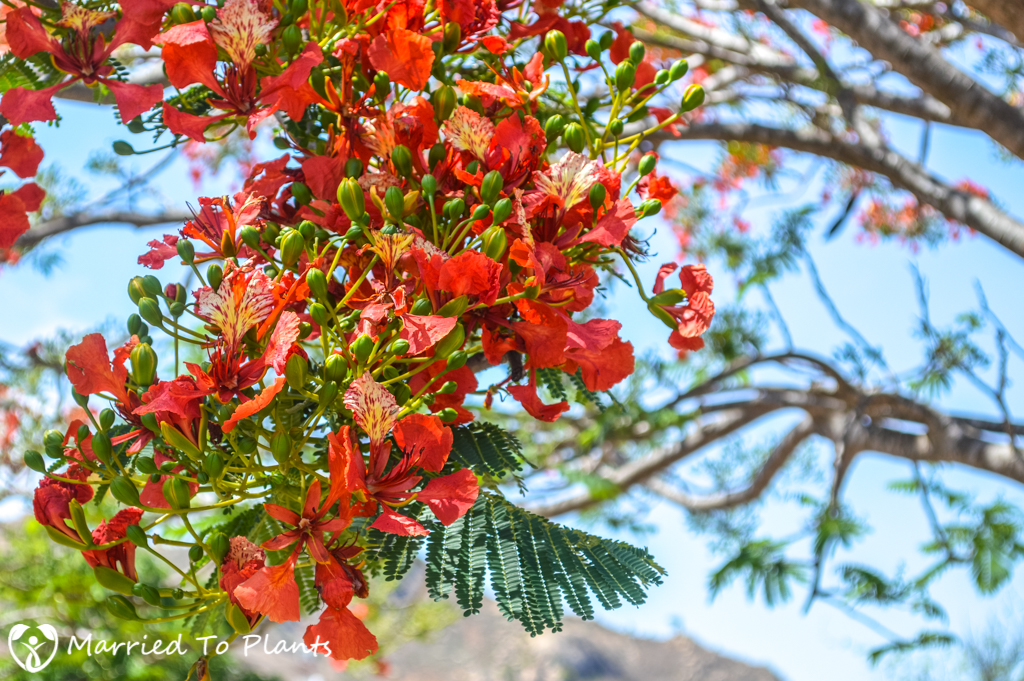 Isalo Royal Poinciana (Delonix regia)