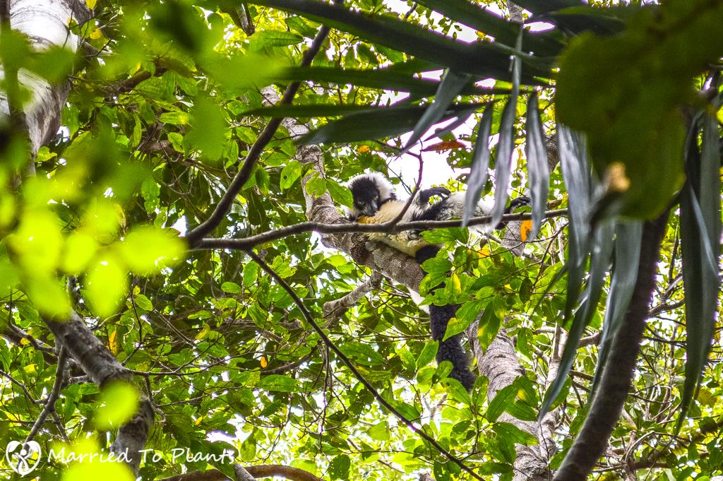 Mount Vatovavy Black-and-white Ruffed Lemur