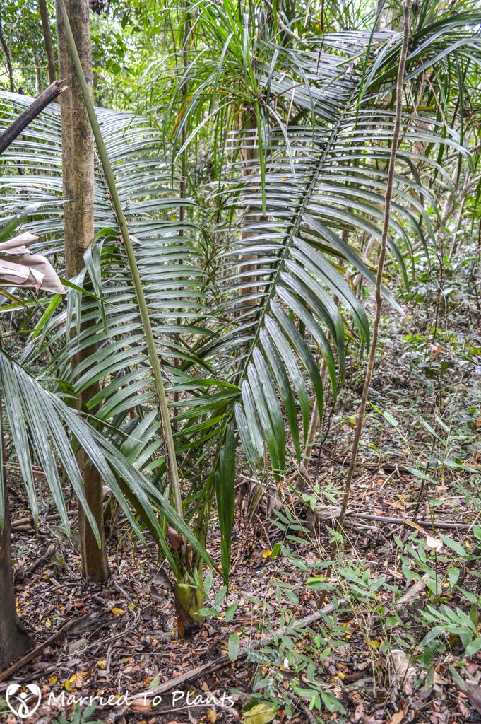 Mount Vatovavy Dypsis ifanadianae Juvenile