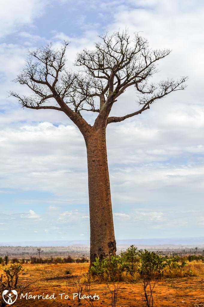 Zombitse-Vohibasia National Park Adansonia za