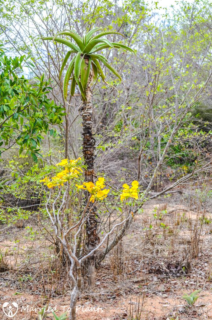 Zombitse-Vohibasia National Park Uncarina peltata and Aloe vaombe