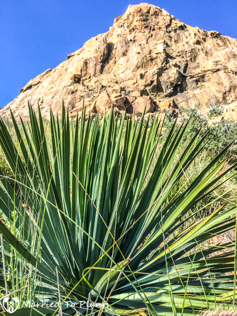 El Cajon Mountain Chaparral Yucca (Hesperoyucca whipplei)