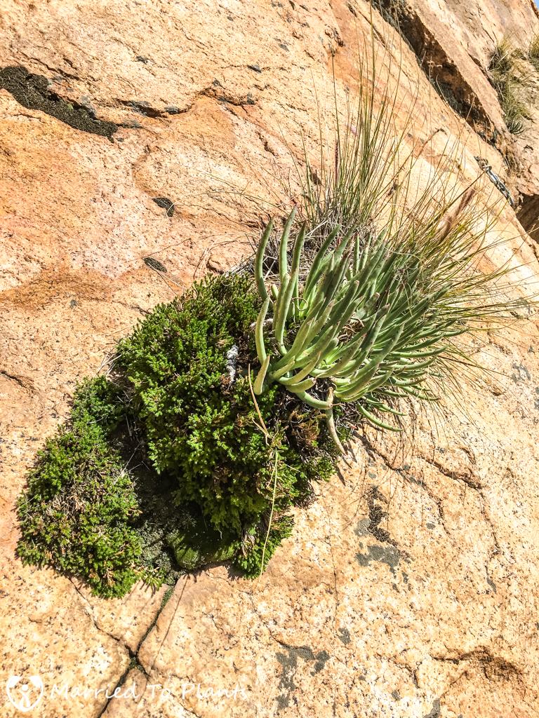 El Cajon Mountain Dudleya edulis