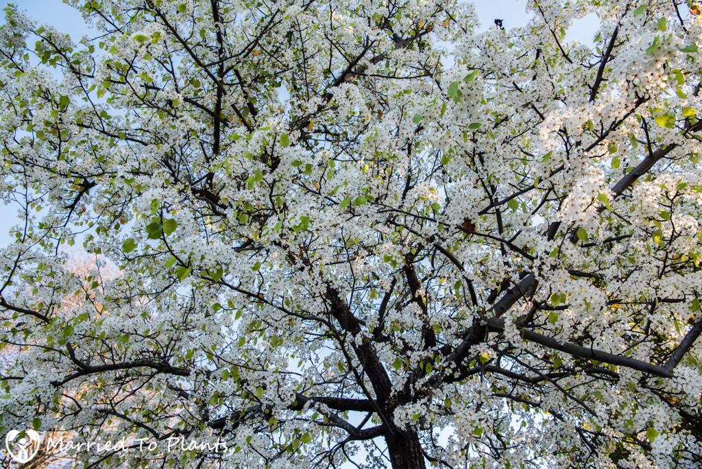 Evergreen Pear Tree (Pyrus kawakami) Flowering Branches