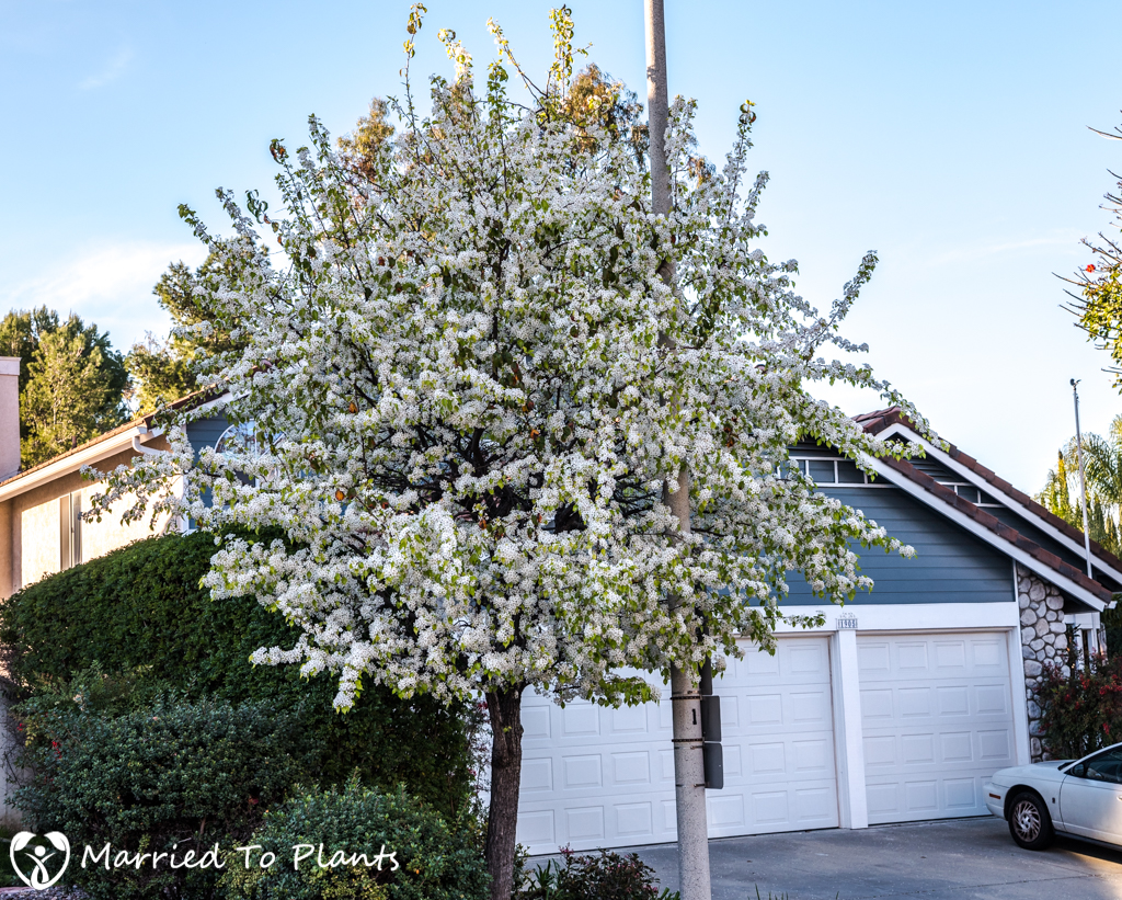 A flowering evergreen pear tree pyrus kawakami tells us for Small evergreen flowering trees