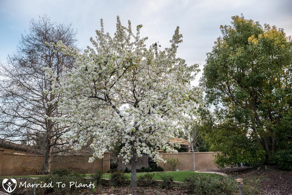 Evergreen Pear Tree (Pyrus kawakami)