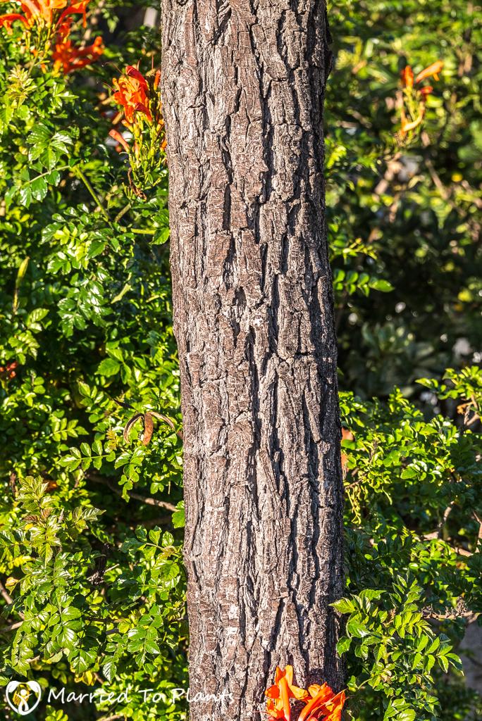 Evergreen Pear Tree (Pyrus kawakami) Bark