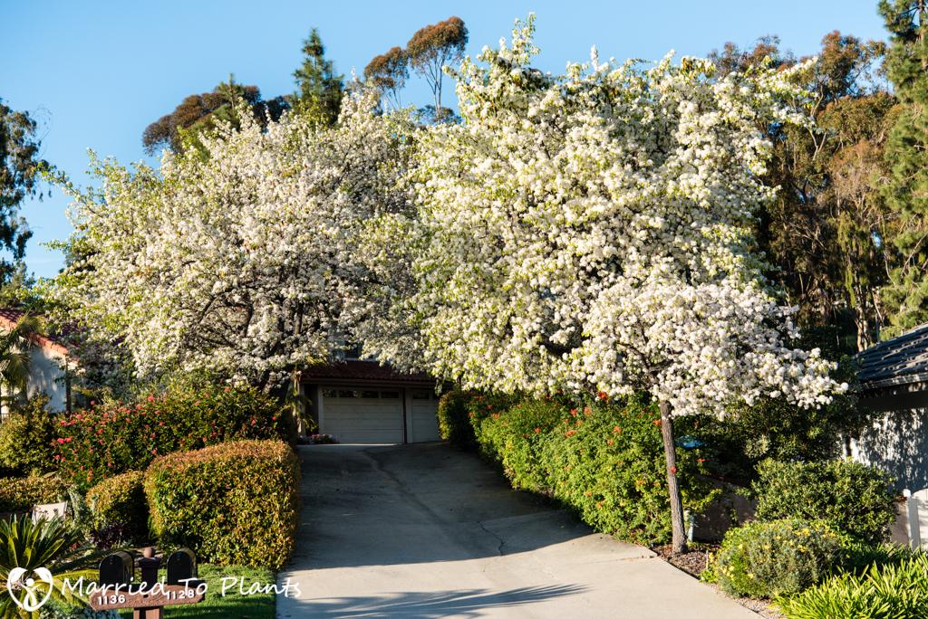 Evergreen Pear Tree (Pyrus kawakami) Canopy Driveway