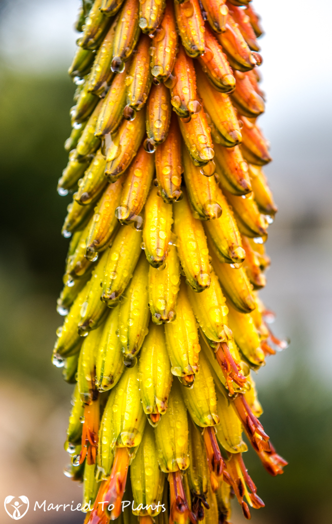 Rainy Day Aloe aculeata Flower