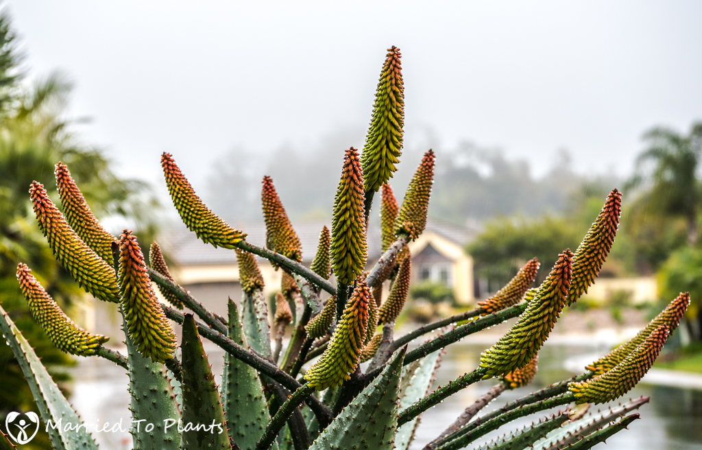 Rainy Day Aloe marlothii