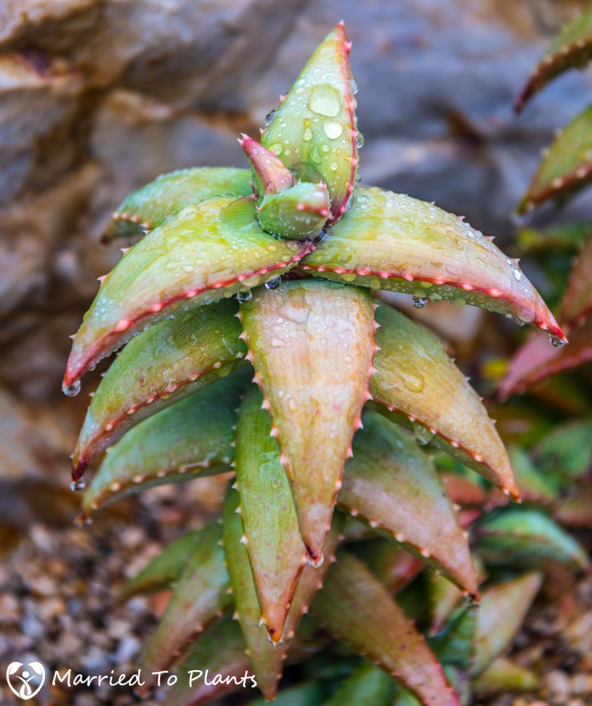 Rainy Day Aloe pearsonii