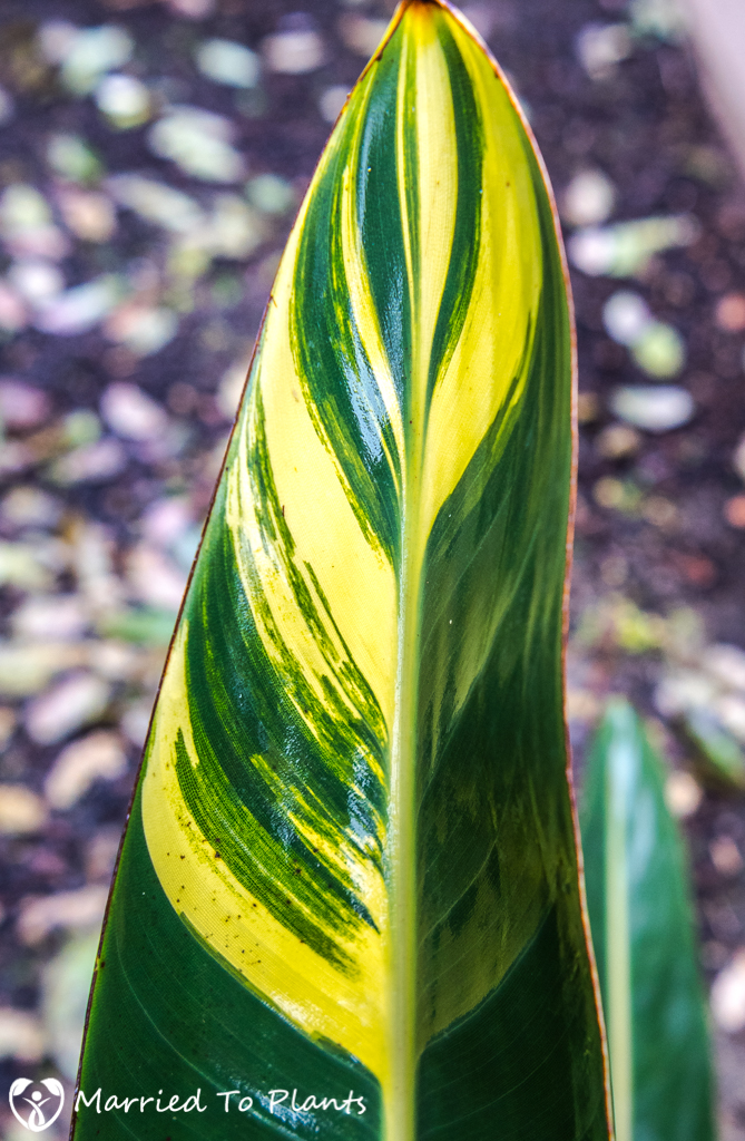 Rainy Day Variegated Leaf of Bird Of Paradise