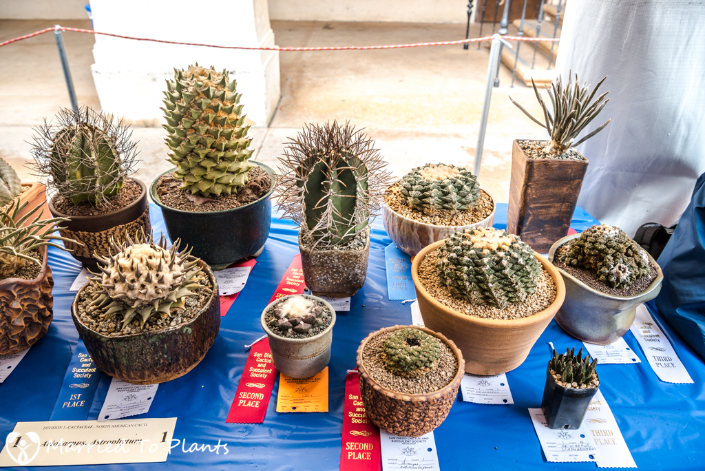 SDCSS Winter 2017 Show - Ariocarpus Table