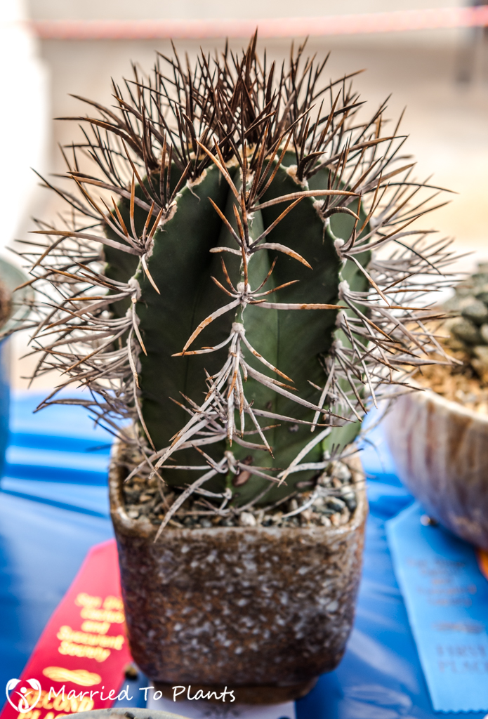 SDCSS Winter 2017 Show - Astrophytum niveum