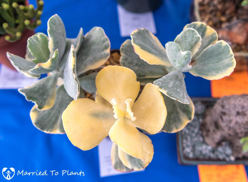 SDCSS Winter 2017 Show - Cotyledon undulata f. variegata