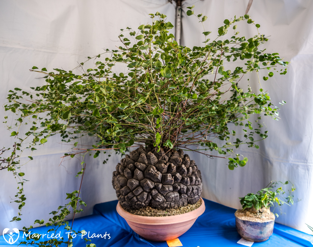SDCSS Winter 2017 Show - Dioscorea elephantipes