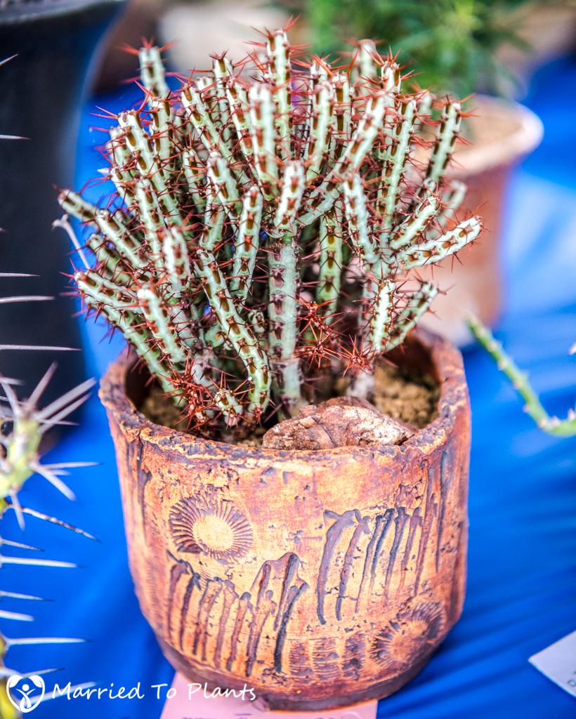 SDCSS Winter 2017 Show - Euphorbia