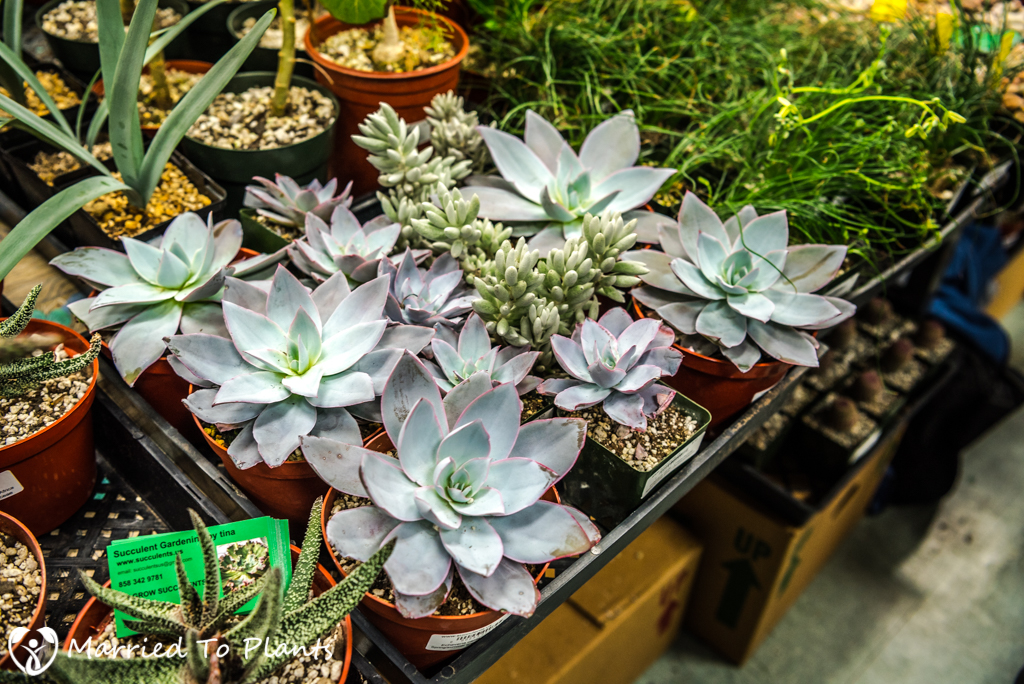 SDCSS Winter 2017 Sale - Echeveria cante